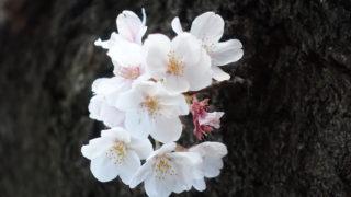 日本の春2019